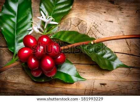 Coffee Plant. Red coffee beans and flower on a branch of coffee tree. Branch of a coffee tree with ripe fruits, flowers and leaves over wooden background - stock photo