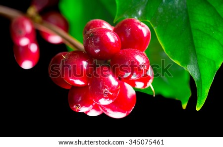 Coffee Plant. Red coffee beans on a branch of coffee tree. Branch of a coffee tree with ripe fruits isolated on black background - stock photo