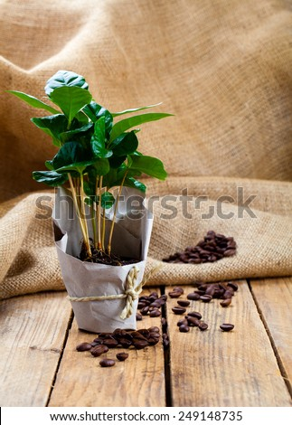 coffee plant tree in paper packaging on sackcloth, wooden background - stock photo