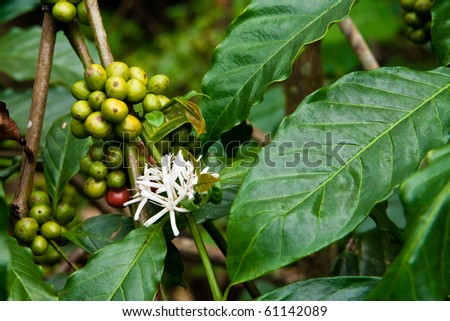 coffee plant with blossom and fruits - stock photo