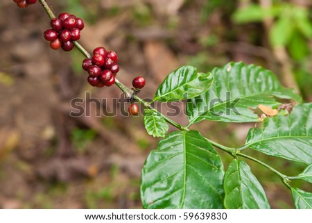 coffee plant with fruits - stock photo