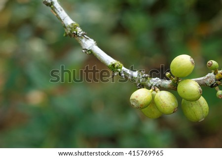 Coffee plant with young green coffee fruits. Blurred background. - stock photo