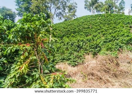 Coffee plantantion near Manizales, Colombia - stock photo