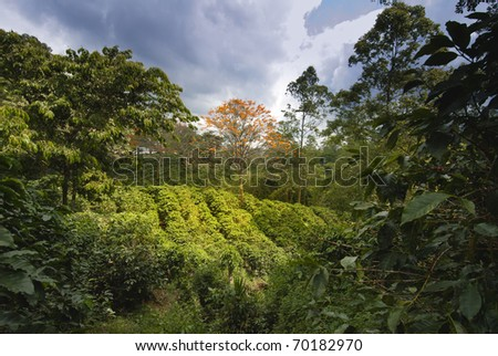 Coffee plantation in Naranjo region, Costa Rica - stock photo