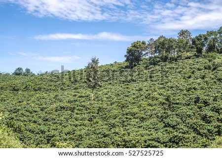 Coffee plantation landscape at Bao Loc town, Da Lat city, Vietnam