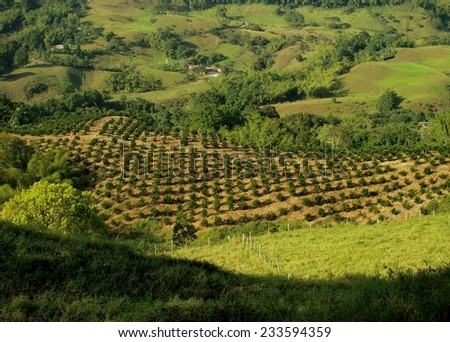 Coffee plantation landscape in highlands - stock photo