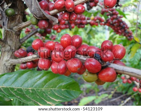 Coffee - red fruits - stock photo