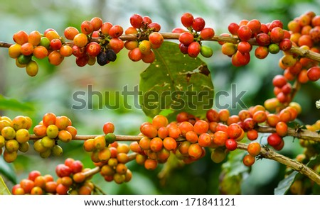Coffee - red fruits still on plant. - stock photo