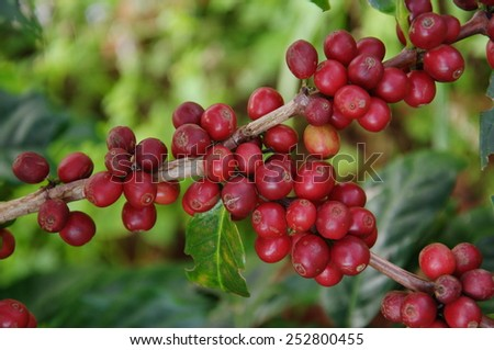 coffee seed in the garden - stock photo