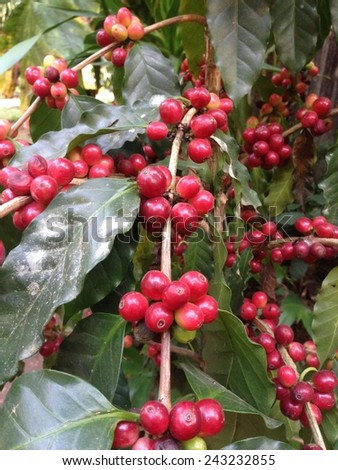 Coffee tree and ripe berries in garden. - stock photo