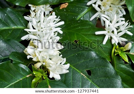 Coffee tree blossom with white color flower close up view - stock photo