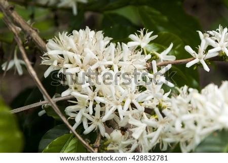 Coffee tree blossom with white color flower close up view. Guatemala - stock photo