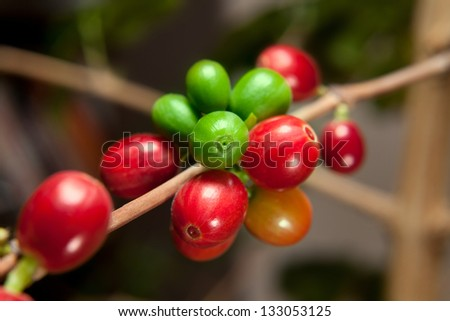 Coffee tree branches filled with red and green cherries - stock photo