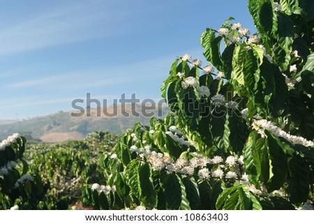Coffee tree in blossom (coffee plantation in Vietnam) - stock photo