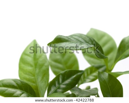 Coffee tree leaves isolated on white - stock photo