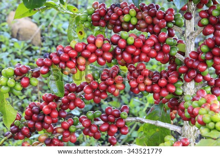 Coffee tree with coffee bean on cafe plantation - stock photo