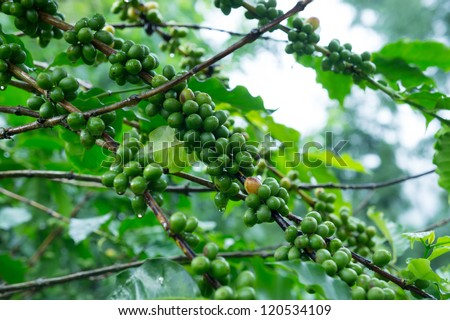 Coffee tree with green coffee beans on the branch - stock photo