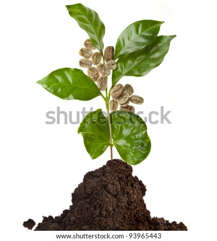 coffee tree with green grains  in the pile ground soil isolated on white