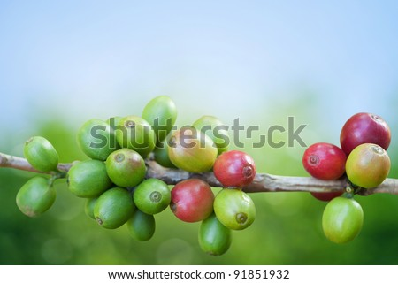 Coffee tree with ripe berries on farm - stock photo