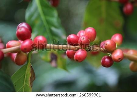 Coffee tree with ripe coffee cherry on farm. - stock photo
