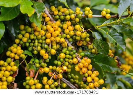 Coffee - yellow fruits still on plant. - stock photo
