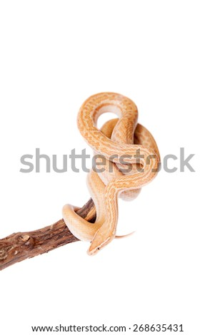 Coiled Cape House Snake, Boaedon Capensis, on white backgroun - stock photo