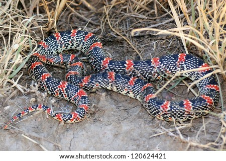 Coiled snake in the grass, the Texas Long-nosed Snake, Rhinocheilus lecontei tesselatus, a brightly colored red, black and white snake - stock photo
