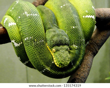 Coiled Up Green Snake - stock photo