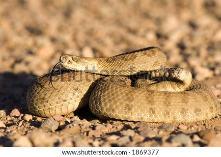 Coiled up rattlesnake sunning on a gravel road - stock photo