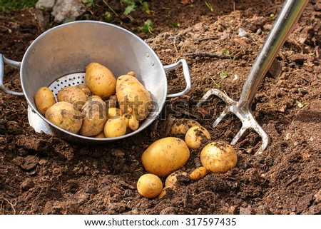 Colander and fresh potatoes harvest - stock photo