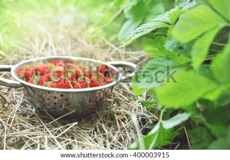 Colander of wild strawberries on bushes background in garden