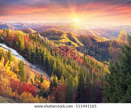 Cold autumn in the Carpathians. Bright colors after snow blizzard is very beautiful scenic, beech, birch and pine forests on the slopes of Sokilsky background mountains at dawn a sunset