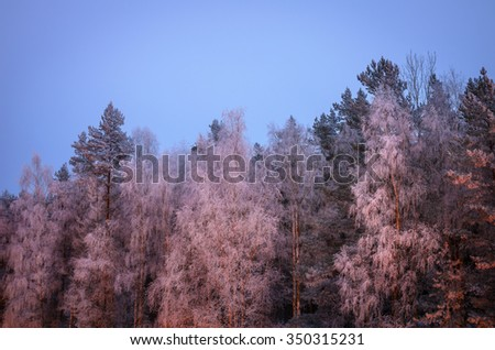 cold winter evening: birches all in hoarfrost - stock photo