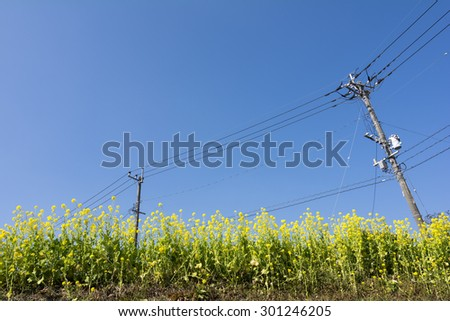 Cole flower field and electric wire under blue sky