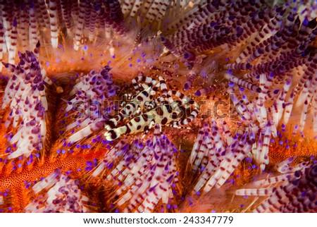 Coleman shrimp, fire sea urchin in Ambon, Maluku, Indonesia underwater photo. Coleman shrimp Periclimenes colemani is in fire sea urchin Asthenosoma varium. - stock photo