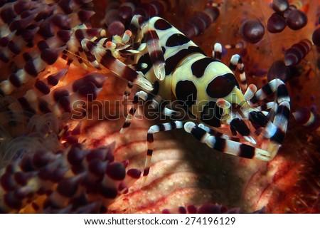 Coleman Shrimp, Phillippines - stock photo