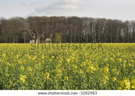 coleseed field - stock photo