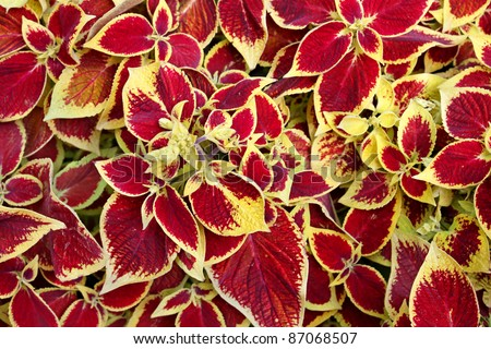 Coleus Blumei (Solenostemon scutellarioides) with flamboyant colors. - stock photo