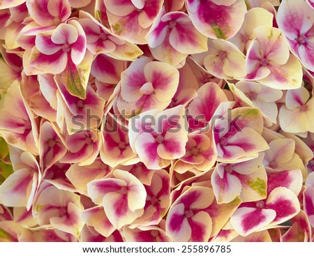 coleus colorful foliage closeup, natural background - stock photo