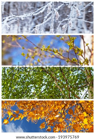 Collage. Birch tree in winter, spring, summer and autumn. Floral backgrounds. Four seasons. Calendar  - stock photo