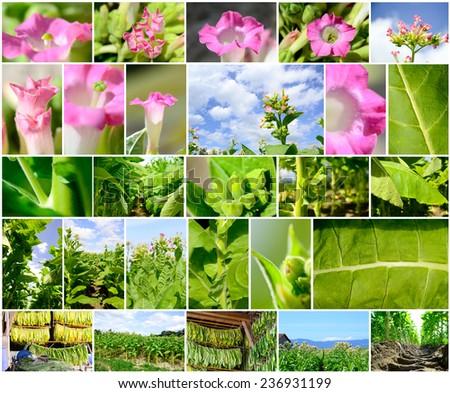 Collage depicting tobacco plantation in Switzerland - stock photo