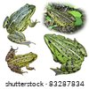 Collage from four frogs isolated on a white background. Rana esculenta. - stock photo
