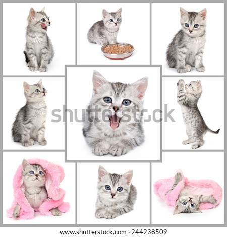 Collage from gray kitten photos. - stock photo