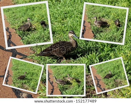 Collage of Australian Pacific black ducks  in green grassy field   after a swim in  a nearby lake at Bunbury 's Big Swamp wetlands, west Australia in spring. - stock photo