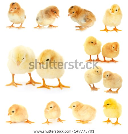 Collage of  beautiful little chickens - stock photo