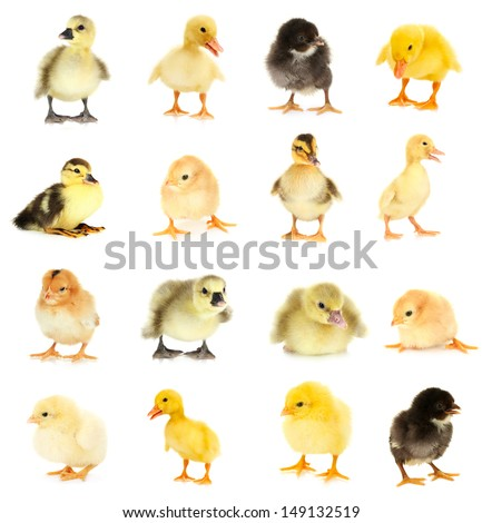 Collage of beautiful little chickens and ducklings - stock photo