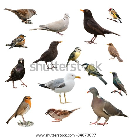 Collage of British garden birds isolated on white background - stock photo