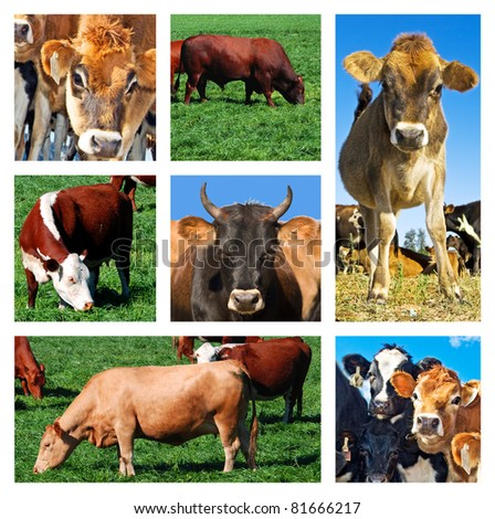 Collage of cattle on the field - stock photo
