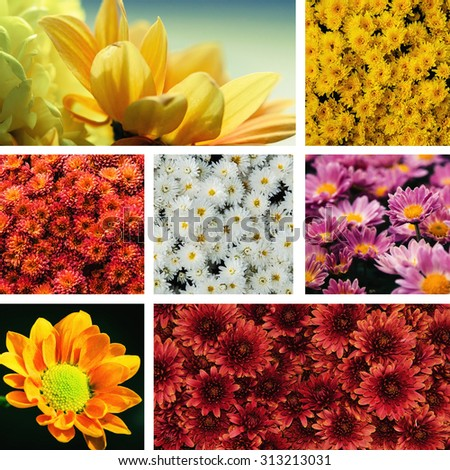 collage of colorful chrysanthemum flower