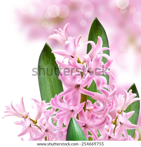Collage of colors pink hyacinth on  background - stock photo